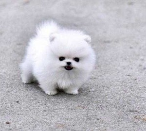 Pomeranian Puppies Available Ponca City Ok Asnclassifieds