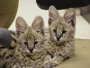 Cheetah Wild Cat For Sale