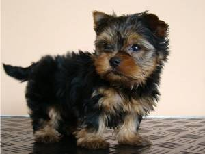 Tea Cup Yorkie Puppies Available In Bay Area Sunnyvale Ca
