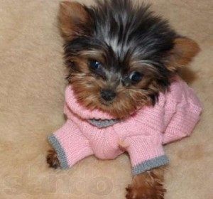 Teacup Yorkies For Adoption Concord Nh Asnclassifieds