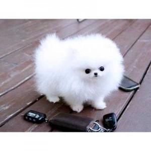 Purebred Pomeranian Puppies For Sale Montgomery Al Asnclassifieds