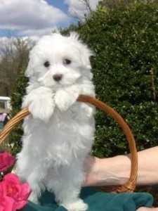 Maltese Pup for Sale