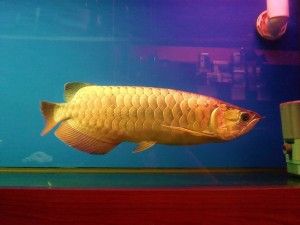 Fish free classified ads for Arowana fish for sale online