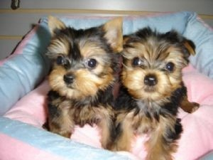 Teacup yorkie puppies for adoption - Frankfort, KY | ASNClassifieds