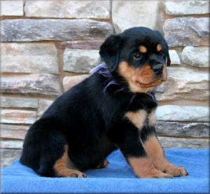 Rottweiler Puppies For Sale Lees Summit Mo Asnclassifieds