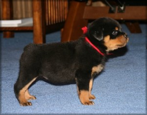 Purebred Rottweiler Puppy For Sale Phoenix Az Asnclassifieds