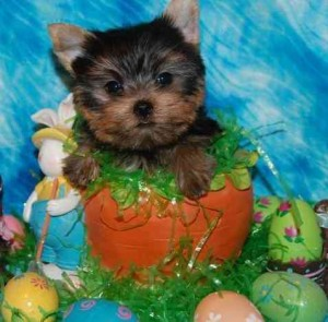 Best Selection Teacup Yorkie Puppies For Sale Orange Nj