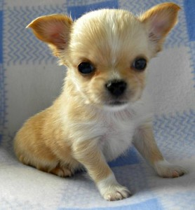 Classified Ads Dogs For Sale Nj