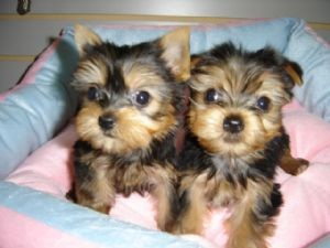 Teacup Yorkie Puppies For Sale Los Angeles Ca Asnclassifieds