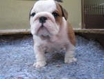 Outstanding English Bulldog Puppies for Adoption