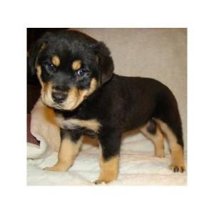 Rottweiler Puppies Available Winston Salem Nc Asnclassifieds
