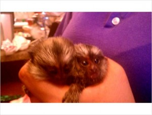 Marmoset for Sale