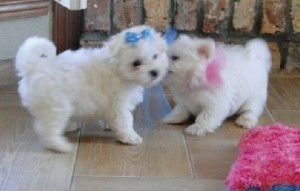 Companion Maltese Dogs