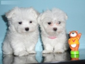 Maltese Puppies Looking for a New Home
