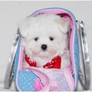 Teacup Maltese Puppies For Sale Bloomington Il Asnclassifieds