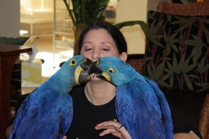 Hyacinth Parrots for Adoption