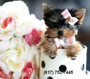 Teacup Yorkie Puppies for Sale - San Diego, CA | ASNClassifieds