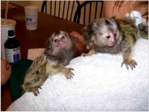 Marmoset Monkey for Re-homing