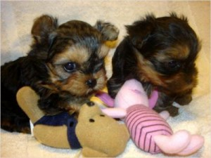 2 Parti Yorkie Males for Sale