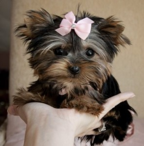 Yorkshire Terrier Puppy For Sale Durham Nc Asnclassifieds