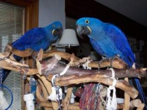 Hyacinth Macaw Parrots Available
