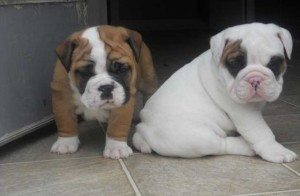 English Bulldog Puppies For Sale Rochester Ny Asnclassifieds