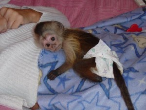 Registered Capuchin Monkey Available