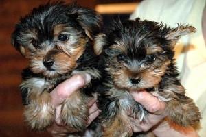 Puppies For Sale In Albuquerque >> Yorkie Pups For Sale Albuquerque Nm Asnclassifieds