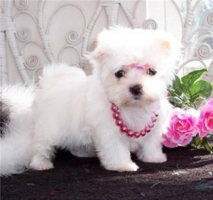 Sweet Teacup Maltese Puppy