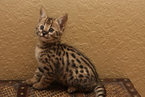 Beautiful F2 Savannah Kittens Available