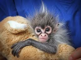 Charming Spider Monkey Available