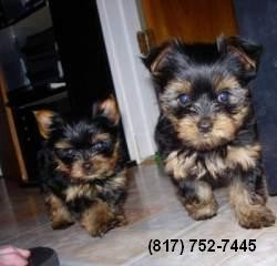 Yorkie puppies for sale in ca