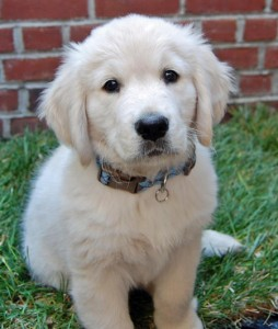 Beautiful Golden Retriever Puppies Sacramento Ca Asnclassifieds