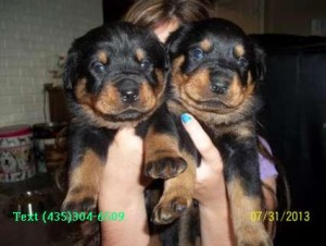Rottweiler Puppies For Sale Concord Nc Asnclassifieds