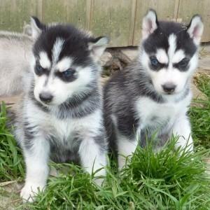 Siberian Husky Puppies For Adoption Show Low Az Asnclassifieds