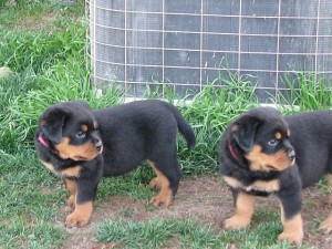 Rottweiler Puppies For Sale Laurel Ms Asnclassifieds