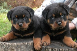 Rottweiler Pups for Adoption - Macon, GA | ASNClassifieds