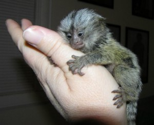 MARMOSET MONKEY FOR A GOOD HOME