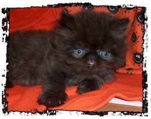 CFA Persian Kittens - PUREBRED