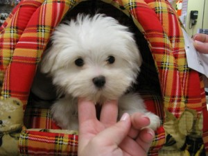 Socialized Teacup Maltese Puppies