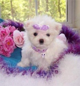 Two Friendly Maltese Puppies For Sale Rochester Nh Asnclassifieds