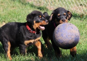 Lovely Rottweiler Puppies for Sale - Clarksville, TN