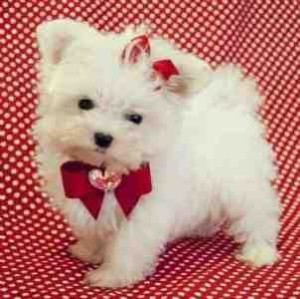Charming and Cute Maltese puppies for sale - Crestview, FL