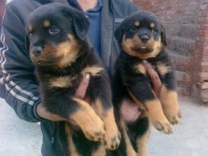 Two Rottweiler Puppies For Adoption Laredo Tx Asnclassifieds