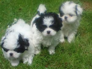 Beautiful Jatzujapanese Chinshih Tzu Mix Puppies For Adoption
