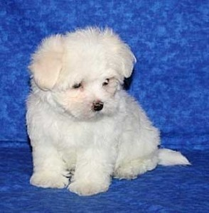 Super Teacup Maltese Puppies Now Available