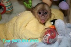Capuchin Monkey for Rehoming