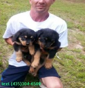 Rottweiler Puppies Available Johnstown Pa Asnclassifieds