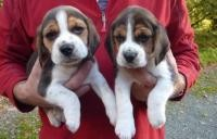 Beautiful Beagle Puppies For Sale