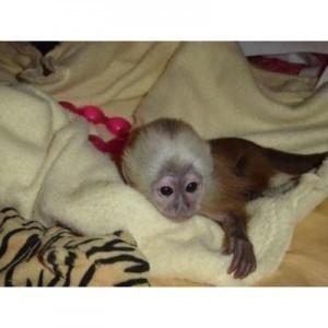 Monkeys - Ohio - Free Classified Ads